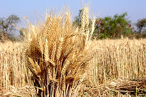 major food crops in india